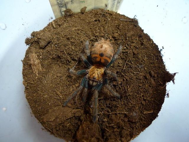Green bottle Blue tarantula spiderling | Flickr - Photo ...