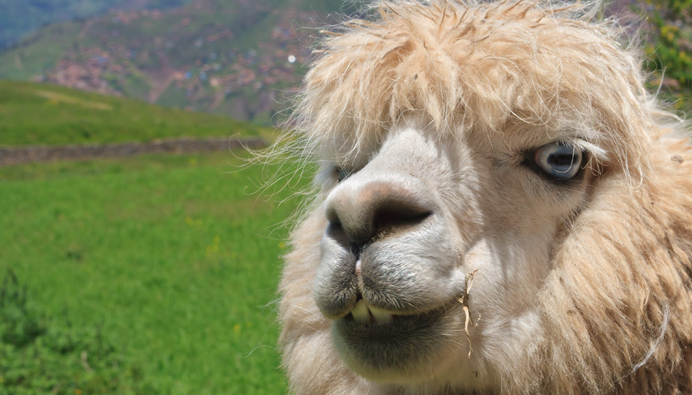 Otra entrega de un post internacional por nuestros amigos Roberto Dam y Guille Morales, el altiplano andino. Una sonrisa para la foto señorita Llama, antes de que el ola k ase fuera mainstream ¡Gracias!. Cuzco, Perú. (Guillermo Morales)