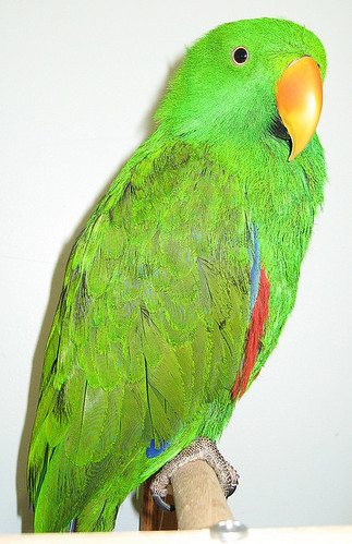 parrot training, eclectus parrot, training eclectus parrots