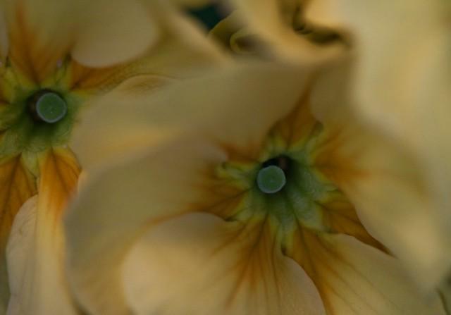 Primroses and macro