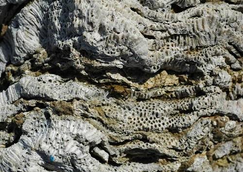 珊瑚礁是由動物造礁,是骨骼所累積,所以速率較快,夾雜之藻礁是植物造礁,一層一層慢慢長,累積速率很慢。(圖片來源:劉靜榆)