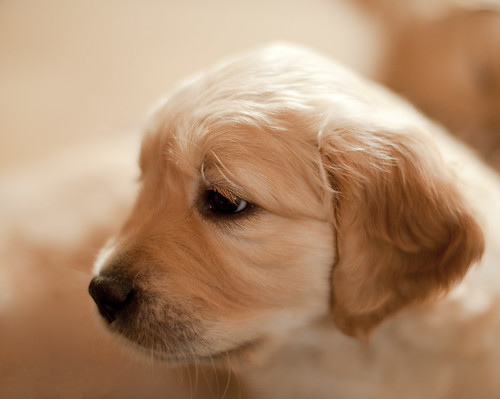 Young Golden Retriever