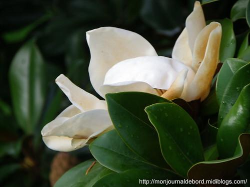 Fleur de magnolia 01