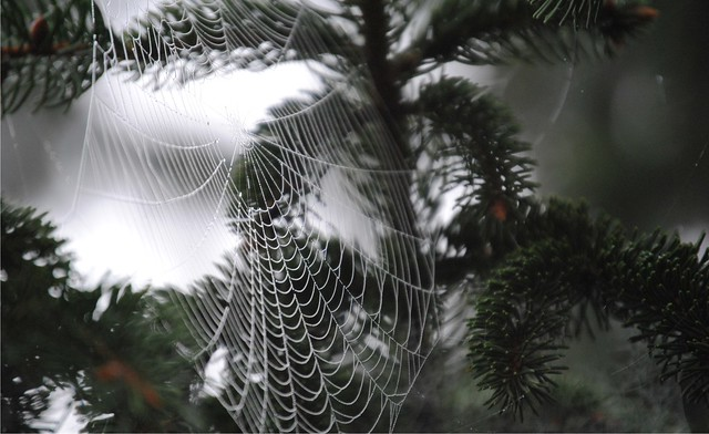 Spider Web on Pine Tree | Flickr - Photo Sharing!