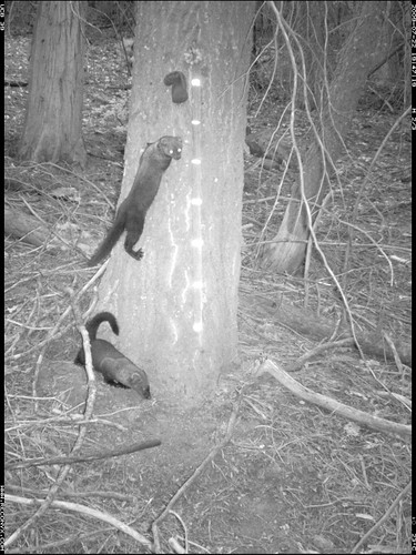 fisher weasel