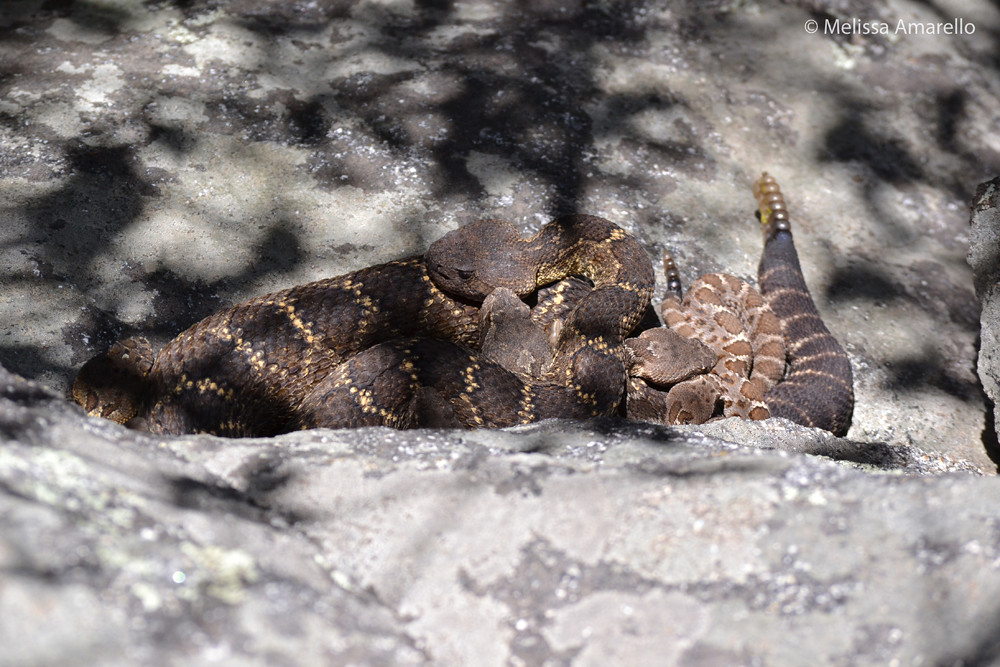 Yellow-man (adult male) with several female and juvenile Arizona black rattlesnakes