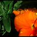 Monet's Garden - Pansy ©Hetx