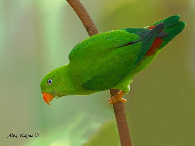 Mystery bird: Vernal hanging parrot, Loriculus vernalis