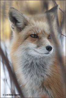 My Friend, Foxie