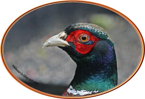 Pheasant 7a