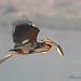 Purple Heron by Abhijit Joshi