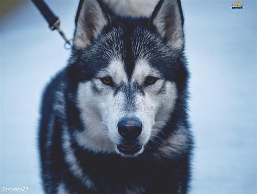 6600587703 57f22d2289 Cool Siberian Husky images