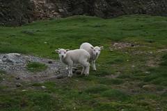 fair isle lambs