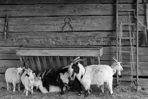 photo shoot with the goats of the Meuseum of AppalachiA