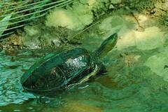 斑龜(特生中心林德恩提供)