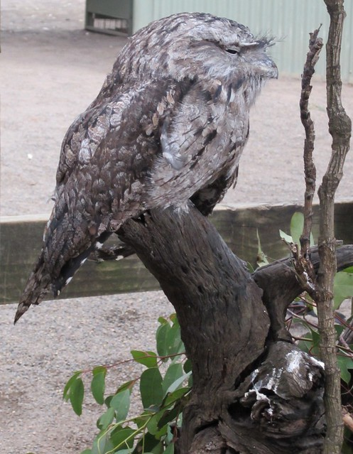 Featherdale - Tawny Frogmouth