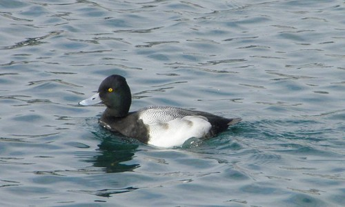 lesser scaup swimming