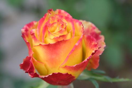 January Rose
