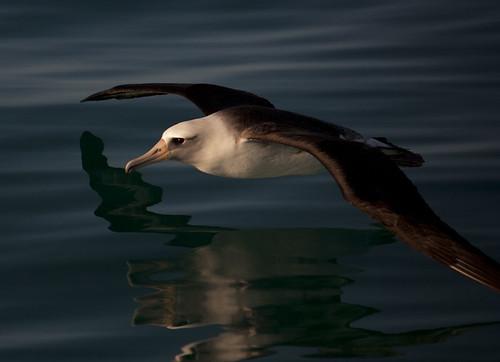 [フリー画像素材] 動物 2, 鳥類, コアホウドリ ID:201201151600