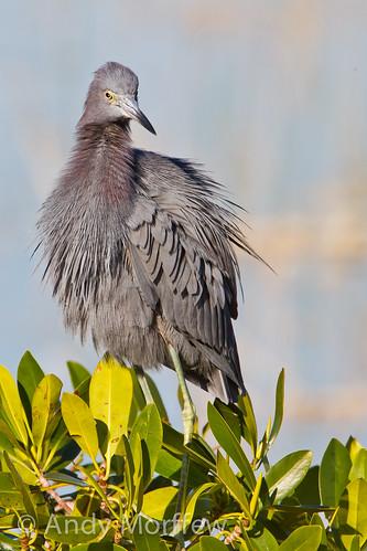 bird florida littleblueheron avianexcellence birdperfect 10000islandsnwr andymorffew morffew