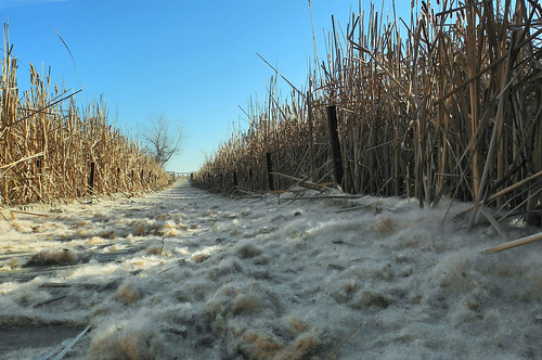 The Drifts This Winter Have Been Cattail Fluff, Not Snow