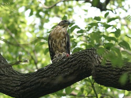 猛禽類鳳頭蒼鷹也曾因誤食鼠藥而中毒(台灣猛禽研究會林文宏攝)