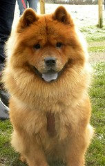 dog breed, animal, akita inu, german spitz klein, chow chow, dog, eurasier, pet, german spitz, finnish spitz, german spitz mittel, carnivoran, icelandic sheepdog,