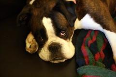 dog breed, animal, puppy, dog, old english bulldog, pet, olde english bulldogge, boston terrier, carnivoran, boxer,