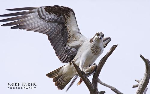birds florida raptor osprey avian birdsofprey floridawildlife floridabirds avianexcellence circlebbarreserve birdperfect