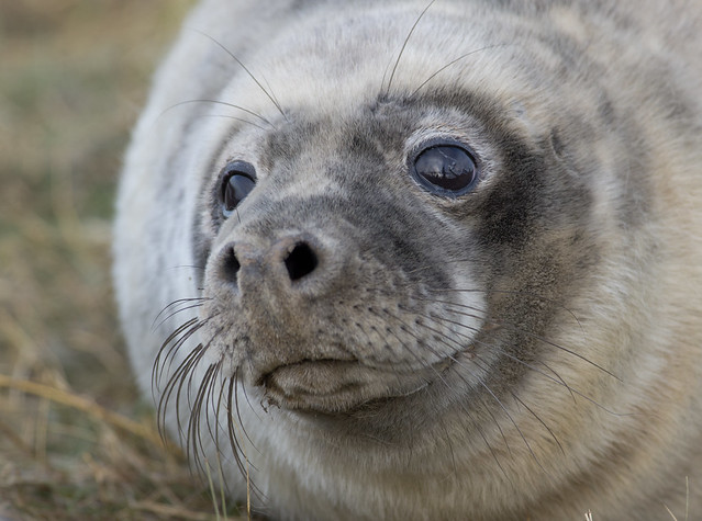 seal pup half woken up 3