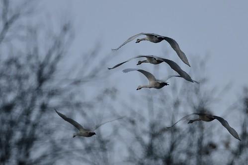 Blue Swans D7K_5481