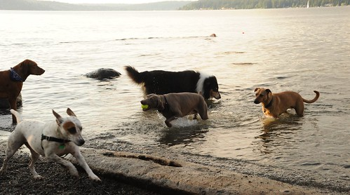 Dogs at play, Rosie elbow deep, Lake Washington, Warren G. Magnuson Dog Park, Seattle, Washington, USA by Wonderlane