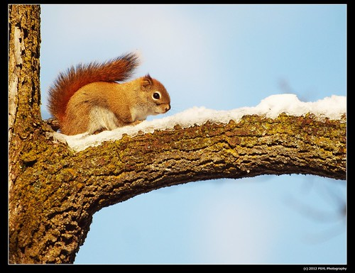 Cold American red squirrel (Tamiasciurus hudsonicus)