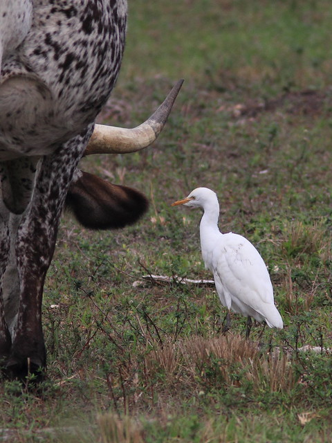 Cattle Egret 20120205