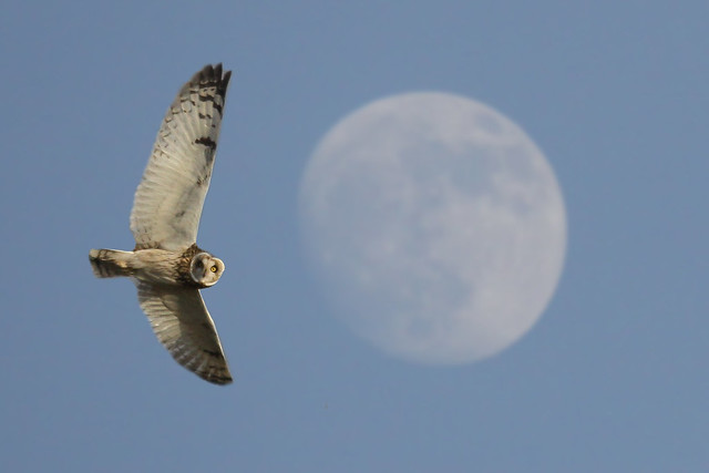 Short Eared Owl- Pulling a moonie