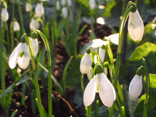 Snowdrops at Chelsea Physic Garden