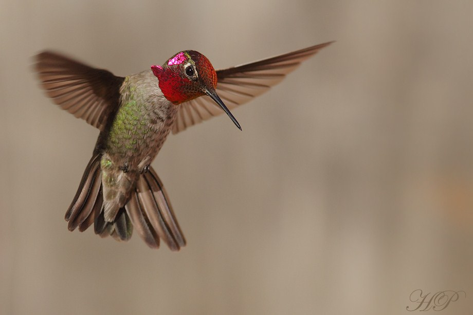 Anna's Hummingbird 020812-3