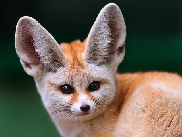 Portrait of a cute fennec