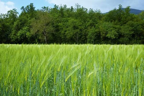 green (verde) / grano (wheat)