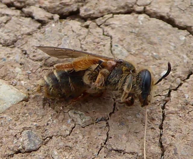 Halictus rubicundus dead