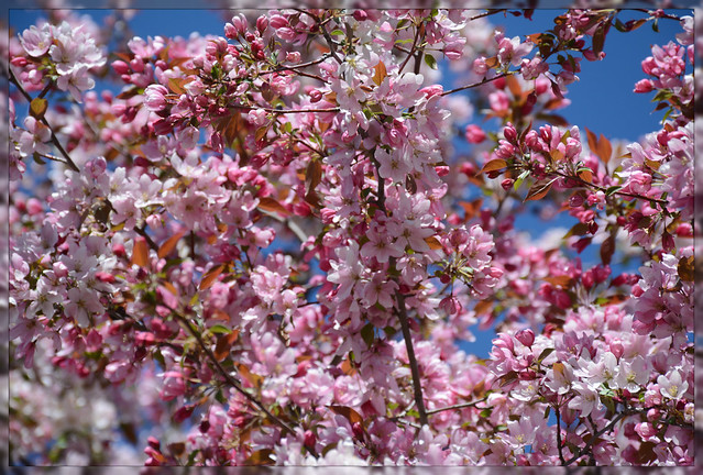 <> Spring Flowering Splendor - III. <>