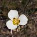 Calochortus leichtlinii by campsjc