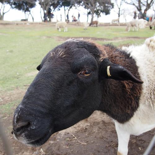 マ牧の羊(黒)