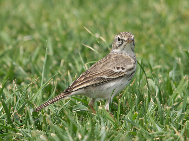 Berthelots pipit 4 - Costa Teguise
