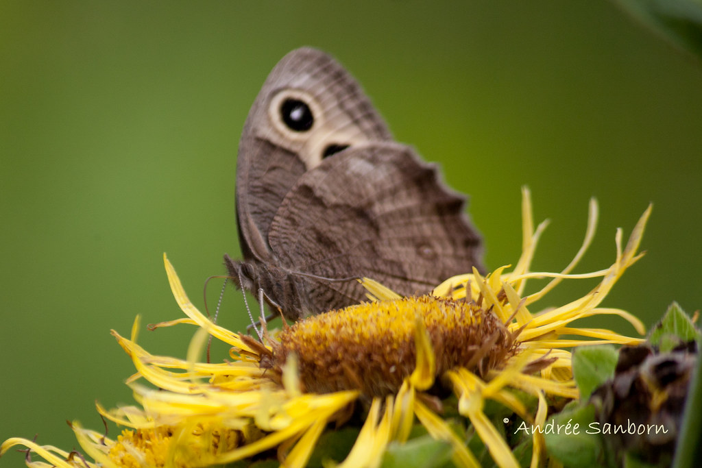 Common Wood Nymph (Cercyonis pegala) on Elecampe (Inula helenium)-8.jpg