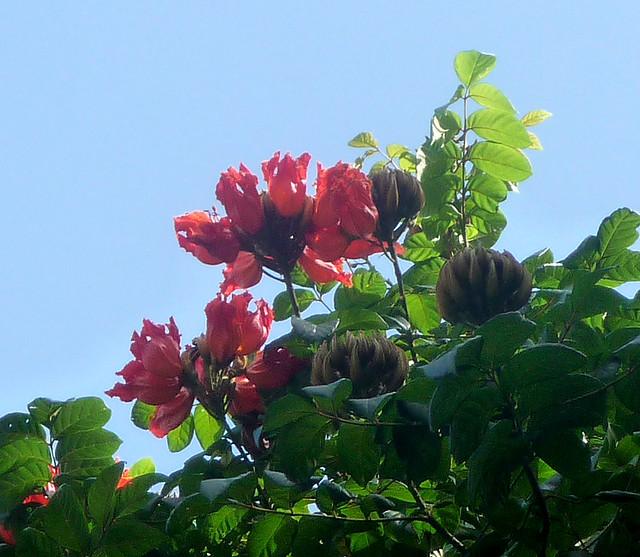 Header of African Tuliptree