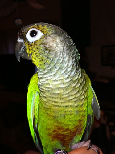 parrot training, green cheek conures, training green cheek conures