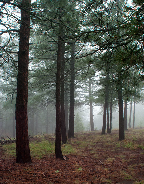 A pine forest in the northern Colorado Rocky Mountains takes on a serene glow in the foggy mists.
