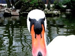 animal, water bird, swan, duck, fauna, beak, bird,