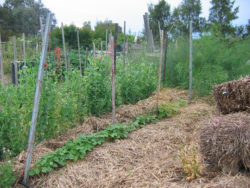 Peas and beans bed Dec 2011